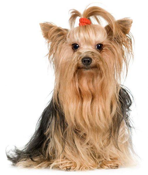 hairy-dog2